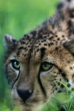 Preview iPhone wallpaper Cheetah Ready to attack