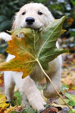 Preview iPhone wallpaper Dog and leaves