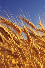 Aperçu iPhone fond d'écranVagues d'or de céréales
