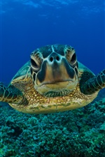Preview iPhone wallpaper Green Sea Turtle