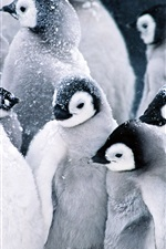 Preview iPhone wallpaper Mutual heating of the penguins in snow