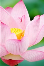 Preview iPhone wallpaper Pink lotus close up