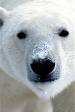Preview iPhone wallpaper Polar bear close-up
