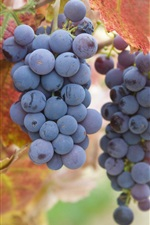 Preview iPhone wallpaper Ripe purple grapes