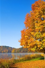 Preview iPhone wallpaper The one red leaf tree in autumn