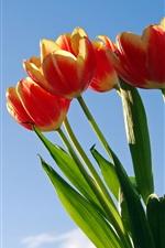 Tulip, sob o céu azul