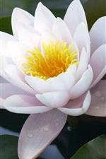 화이트 연꽃