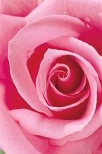 Preview iPhone wallpaper A pink rose