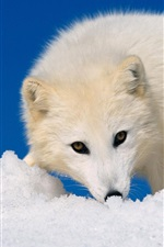 Preview iPhone wallpaper Arctic Fox