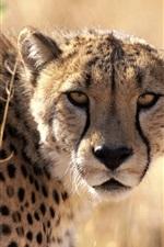 Preview iPhone wallpaper Cheetah