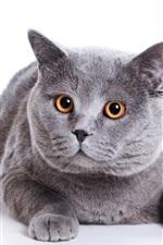 그레이 뚱보 고양이