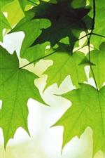 iPhone обои Зеленый кленовый лист