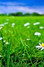 Preview iPhone wallpaper Green grass and white flowers