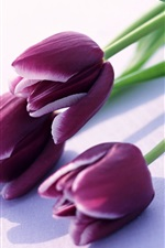Preview iPhone wallpaper Purple tulips