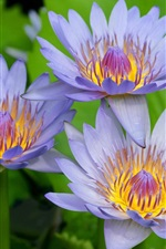 Preview iPhone wallpaper Three Blue Lotus
