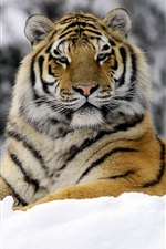Preview iPhone wallpaper Tiger in Winter