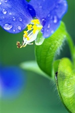 Preview iPhone wallpaper Two blue flowers