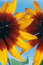 Preview iPhone wallpaper Two orange flowers