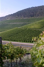 Preview iPhone wallpaper Vineyard in Germany