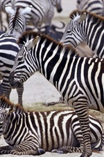 Preview iPhone wallpaper Zebra