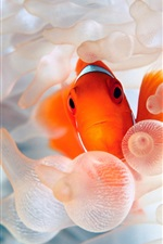 Preview iPhone wallpaper Clown fish ocean underwater world