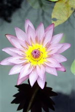 Preview iPhone wallpaper Flower water lily lake