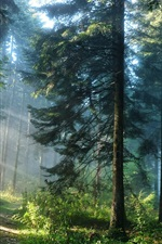 Preview iPhone wallpaper Forest trees and the light rays
