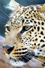 Preview iPhone wallpaper Leopard