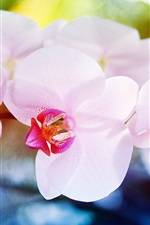 Preview iPhone wallpaper Orchid flowers macro