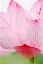 핑크 연꽃 매크로