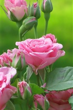 Preview iPhone wallpaper Pink roses