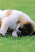 Preview iPhone wallpaper Puppy basket grass