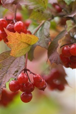 Preview iPhone wallpaper Red viburnum berries