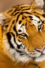 Preview iPhone wallpaper Tiger cute photo