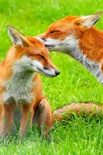 Preview iPhone wallpaper Two foxes on the grass
