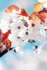 Preview iPhone wallpaper White cherry blossoms