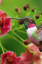 Preview iPhone wallpaper Hummingbird flowers flying