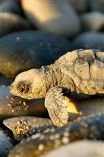 A pequena tartaruga e pedras