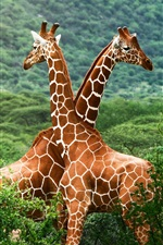 Preview iPhone wallpaper African savanna giraffes
