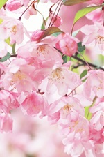 Preview iPhone wallpaper Cherry blossom petals pink spring