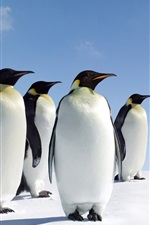 Preview iPhone wallpaper Four penguins