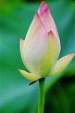 Preview iPhone wallpaper Lotus bud