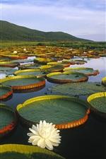 Preview iPhone wallpaper Vitoria Regia Water Lily at Pantanal Matogrossense, Brazil