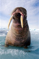 Preview iPhone wallpaper Walrus on the sea ice