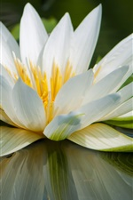 Preview iPhone wallpaper Water lily macro