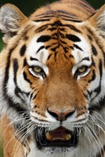 Preview iPhone wallpaper Wild cats siberian tigers