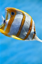 Preview iPhone wallpaper Yellow and white clownfish