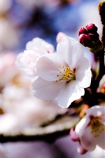 Preview iPhone wallpaper Apple tree white flowers spring