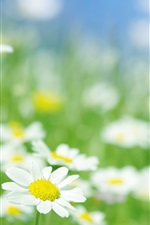 Preview iPhone wallpaper Chamomile flowers macro