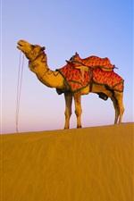 Preview iPhone wallpaper Desert camel
